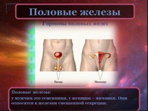 Яичники у мужчин