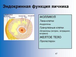 Гранулезные клетки яичников