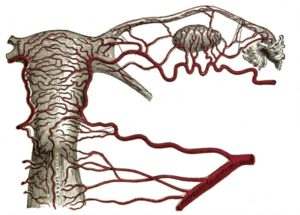 Кровоснабжение яичника