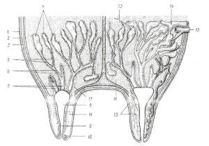 Строение молочной железы коровы