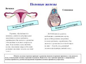 В яичниках образуются