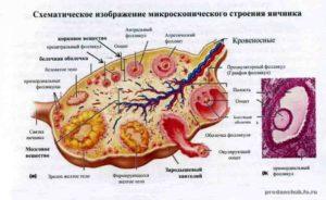 Анатомия яичников