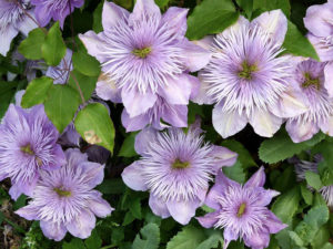Цветы климаксы