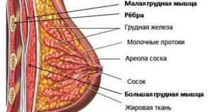В молочных железах много железистой ткани