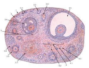 Гистология яичника