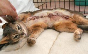Удаление гряды молочных желез у кошек