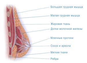 Где у женщин находятся молочные железы у