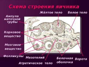 Белое тело в яичнике