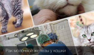 Химиотерапия при раке молочной железы у кошек