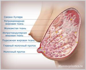 Связки купера молочной железы