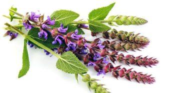 Шалфей лечебные свойства для женщин при климаксе
