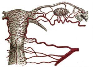 Кровоснабжение матки и яичников
